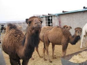 camel040