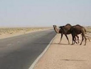 camel041