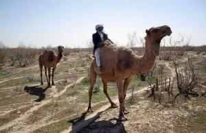 camel-rah