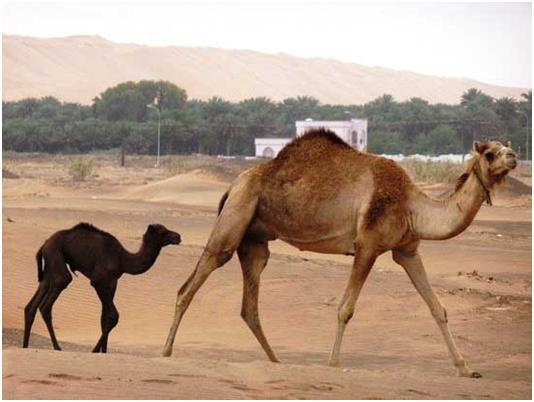 camel941