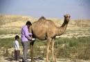 تولید بیش از ۱۷ هزار تن شیر شتر در خراسان جنوبی