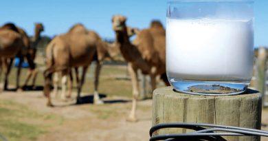 پرسش و پاسخ های متداول و کاربردی در مورد شیر شتر