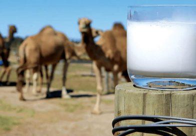 آنچه درباره خواص شیر شتر نمیدانید/ اگر دسترسی دارید، حتما شیر شتر را دربرنامه غذایی خود بگنجانید